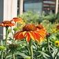 #1 Echinacea Prima Ginger/Coneflower Compact