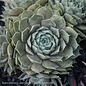 Succulent 4p Sempervivum Lavender and Old Lace/ Hens and Chicks