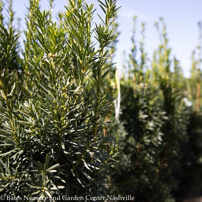 #5 Taxus x media Hicksii/Upright Yew