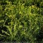 #1 Taxus x media Densiformis/Dense Yew
