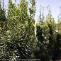 #2 Taxus x media Hicksii/Upright Yew
