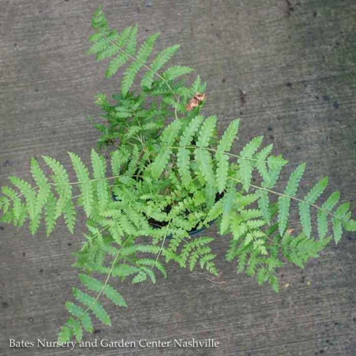 #1 Osmunda cinnamomea/Cinnamon Fern Native