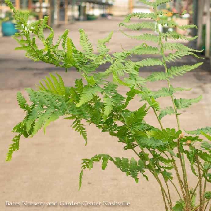 #1 Dryopteris filix-mas Robusta/Robust Male Fern