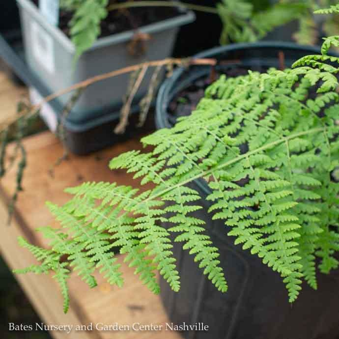 #1 Dennstaedtia punctilobula/Hay-scented Fern Native