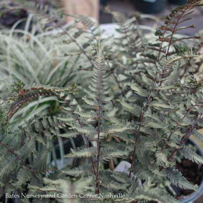 #1 Athyrium niponicum Crested Surf/Japanese Painted Fern