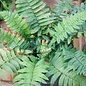 #1 Dryopteris cycadina/Shaggy Shield Fern