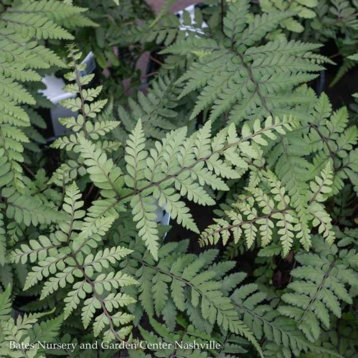 #1 Fern Athyrium otophorum/Limelight Lady