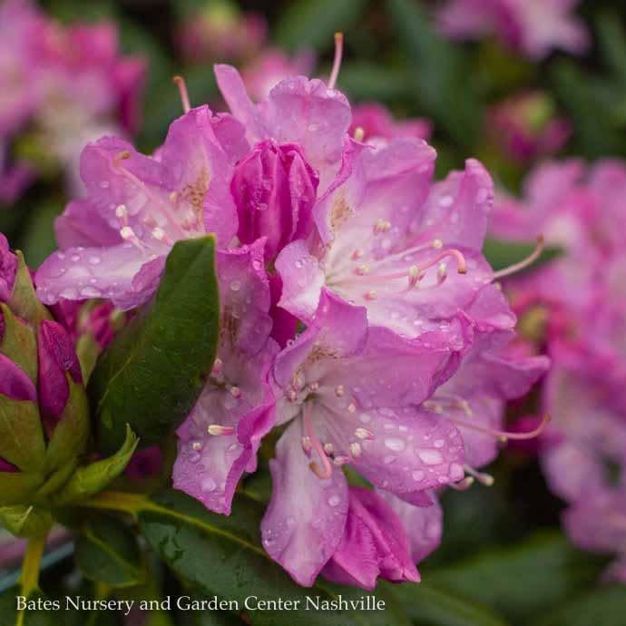 #2 Rhododendron x 'English Roseum' NO WARRANTY