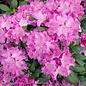 #2 Rhododendron 'Roseum Elegans' NO WARRANTY