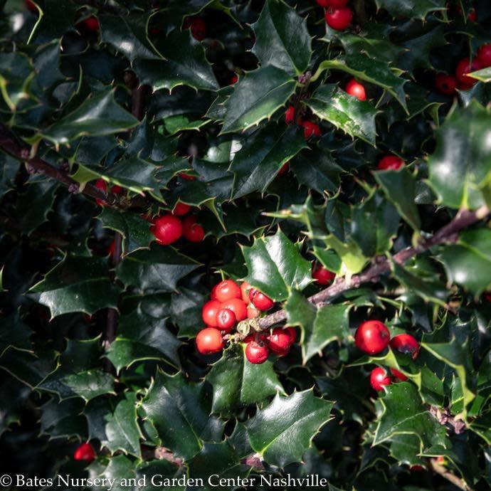#2 Ilex x Rutzan/Red Beauty Holly