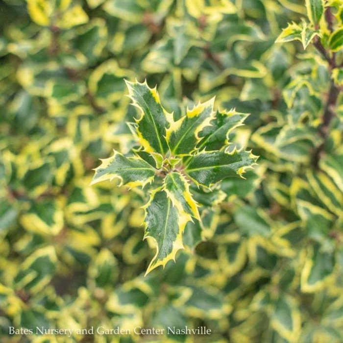#5 Ilex aquifolium Monvila/Gold Coast Variegated English Holly Male
