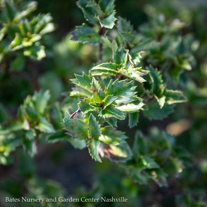 #3 Ilex x meserveae Mondo/Little Rascal Holly (Male)