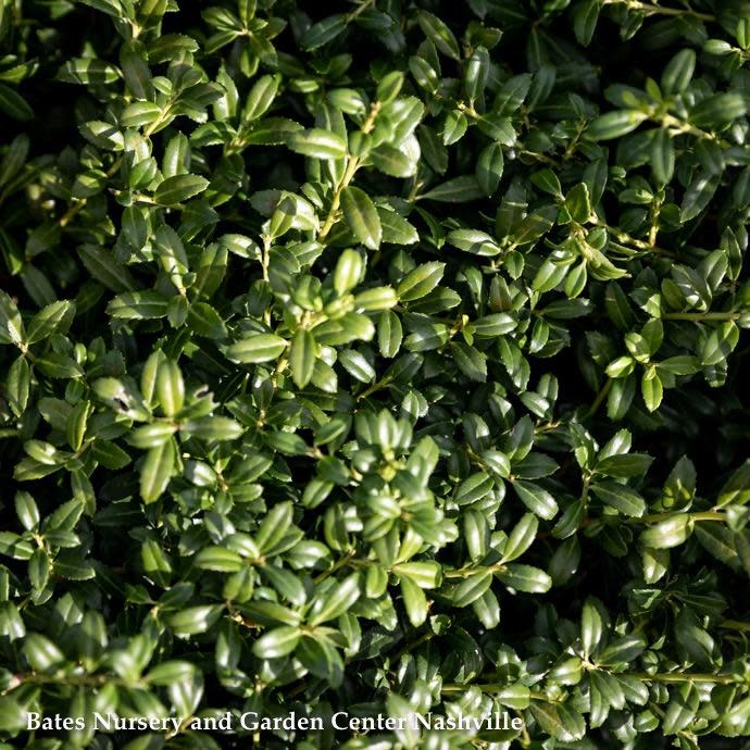 #3 Ilex cre Soft Touch/Japanese Holly (female)