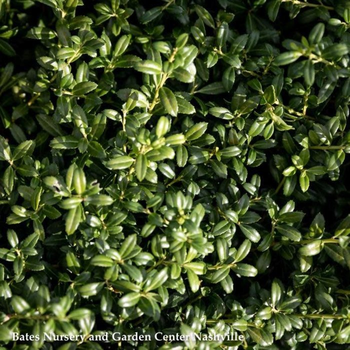 #3 Ilex cre Soft Touch /Japanese Holly (female)