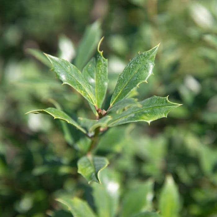 #15 Ilex x attenuata Fosteri/Foster Holly