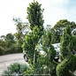 Topiary #5 Spiral Ilex x Emerald Colonnade/Hybrid Holly (male)