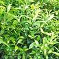 #2 Ilex glabra Shamrock/Inkberry Holly (female)