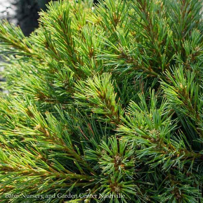 #3 Pinus strobus Blue Shag/Dwarf White Pine