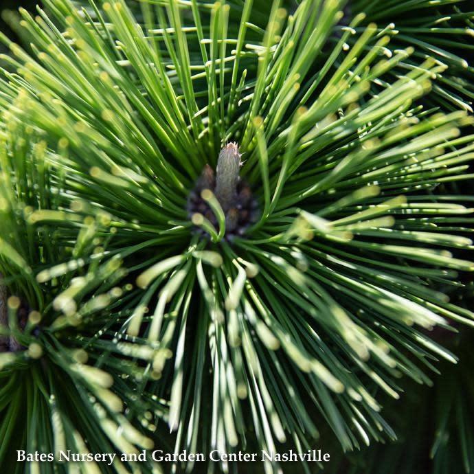 #15 Pinus thunbergii Thunderhead/Japanese Black Pine