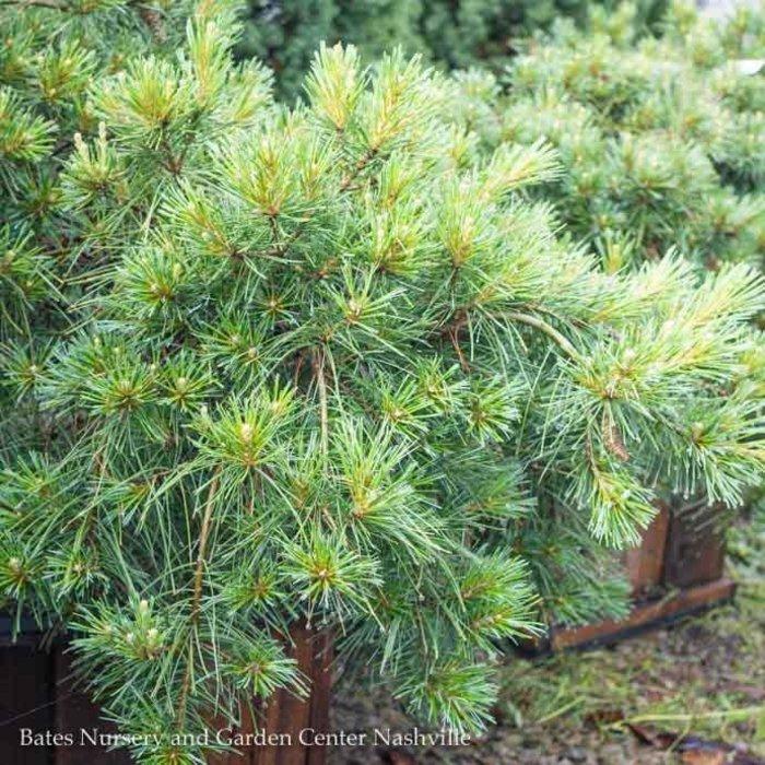 #3 Pinus strobus Niagara Falls/ Weeping White Pine NO WARRANTY