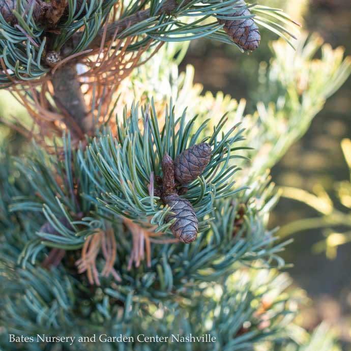 #3 Pinus parviflora Miyajima/Japanese White Pine