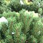 #3 Pinus mugo Palouse/Dwarf Mugo Pine