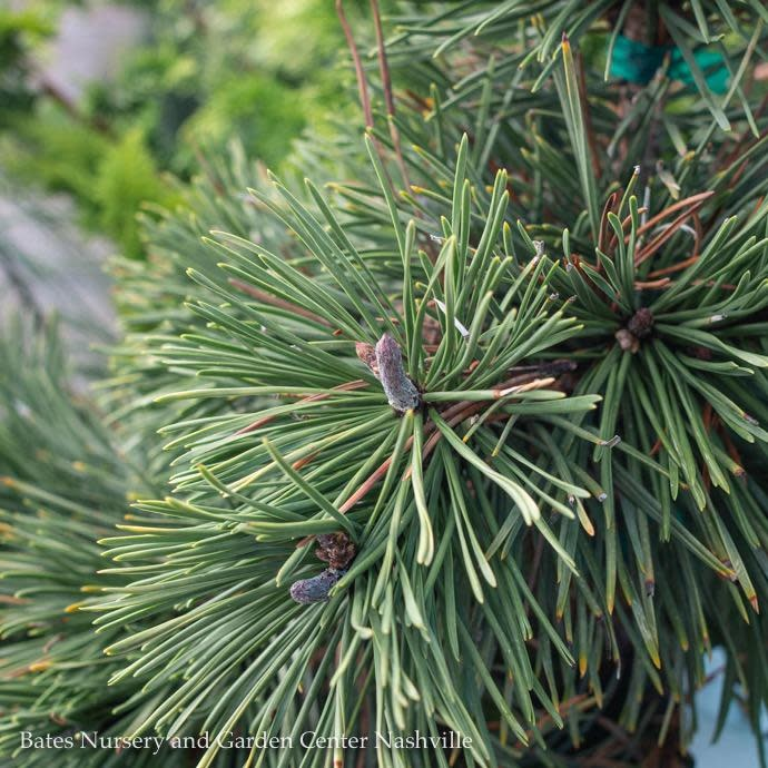 #6 Pinus contorta 'Taylor's Sunburst'/Lodgepole Pine