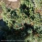 #3 Pinus parviflora Kinpo/Japanese White Pine