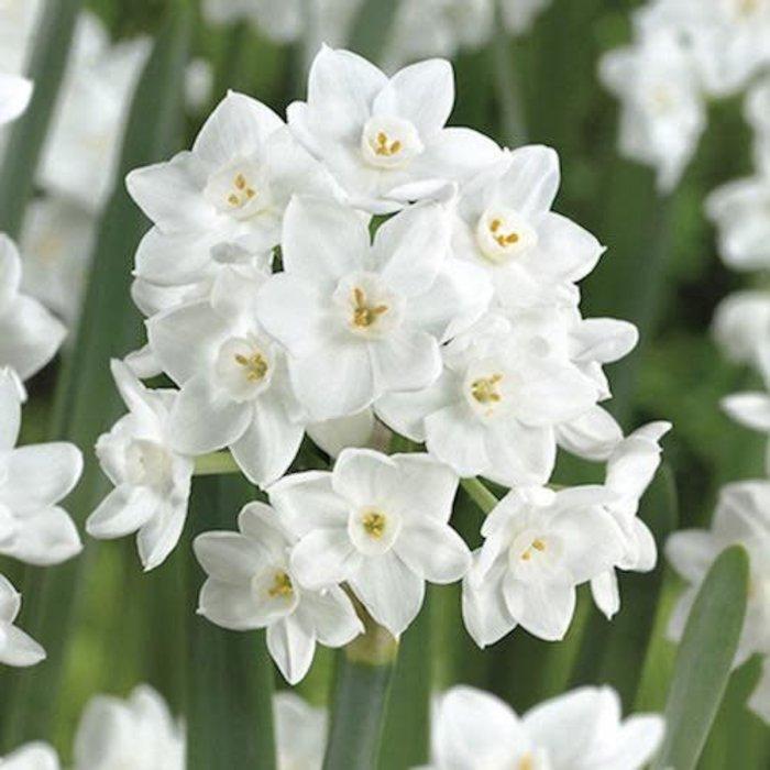 Bulb Narcissus Paperwhite Ziva 1Ea