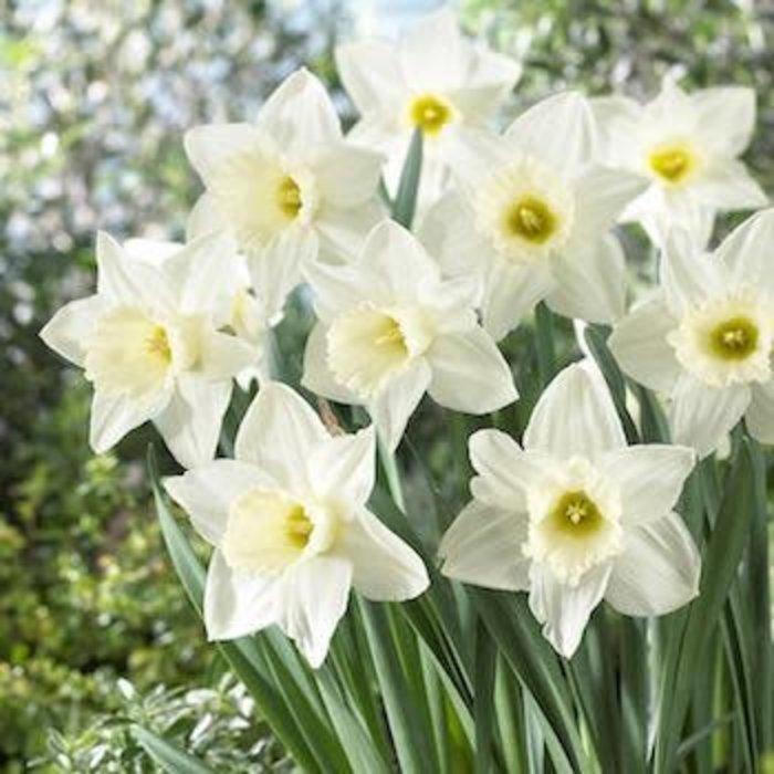 Bulb Daffodil/Narcissus Mount Hood /White 8/pk