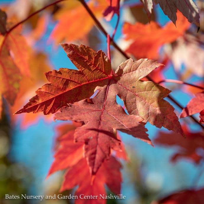 #25 Acer rubrum x freemanii Autumn Blaze/Red Maple 2 inch caliper