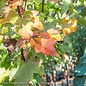 #15 Acer rubrum Brandywine/Red Maple