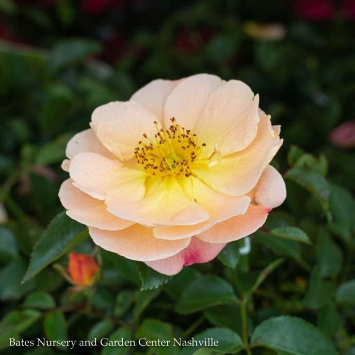 #2 Rosa Flower Carpet Amber/Rose NO WARRANTY
