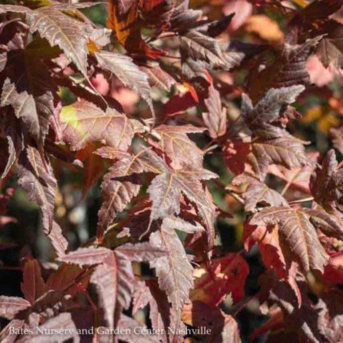 #15 Tree Form Acer ginnala/Amur Maple Single