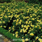 #2 Rosa Flower Carpet Yellow/Rose NO WARRANTY
