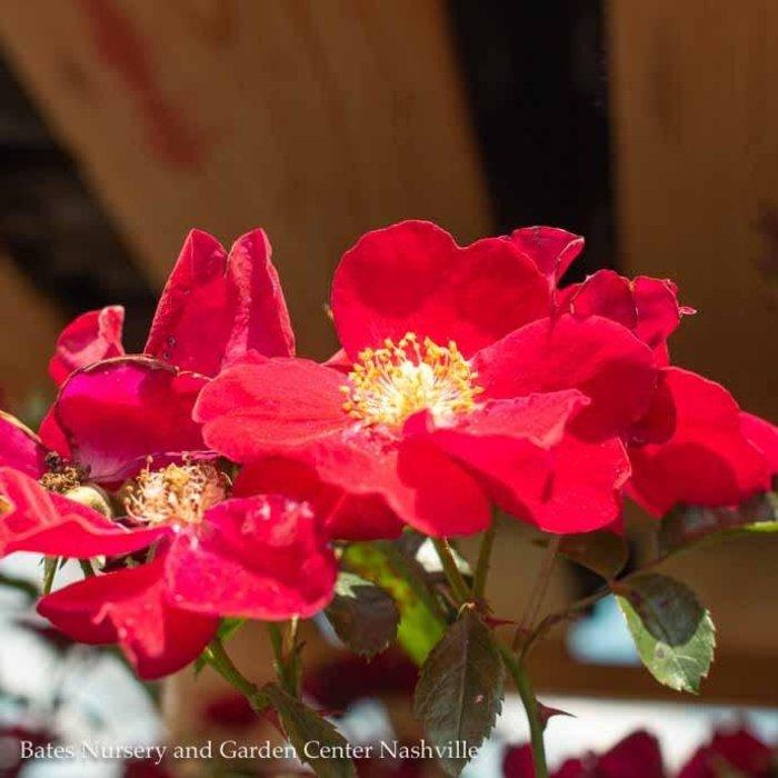 #2 Rosa Flower Carpet Red/Rose NO WARRANTY