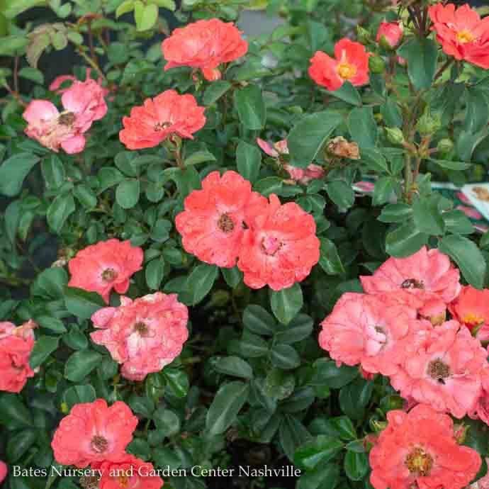 #2s Rosa 'Meidrifora'/Coral Drift Dwarf Shrub Rose NO WARRANTY