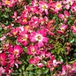 #3 Rosa 'Meijocos'/Pink Dwarf Drift Shrub Rose NO WARRANTY