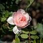 #3 Rosa Bonica/Shrub Rose Pink NO WARRANTY