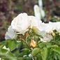 #3 Rosa'Novarospop'/Popcorn Drift Dwarf Rose Shrub NO WARRANTY