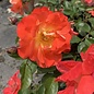 #2 Rosa x Tanabamar/Caramba Shrub Rose NO WARRANTY