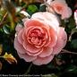 #5 Patio Tree Rosa 'Meimirrote'/Apricot Dwarf Drift Shrub Rose NO WARRANTY