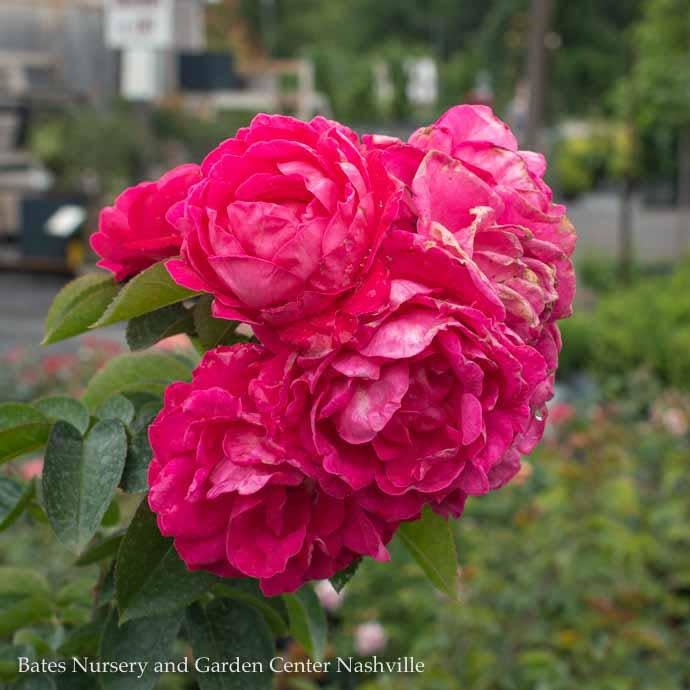 #3 Rosa Party Hardy/Shrub Rose Pink No Warranty