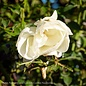 #2 Rosa Flower Carpet White/Rose NO WARRANTY