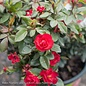 #2 Rosa Petite Knock Out Red/Miniature Shrub Rose NO WARRANTY