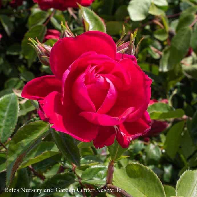 #2 Rosa Grace N' Grit Pink/Shrub Rose NO WARRANTY