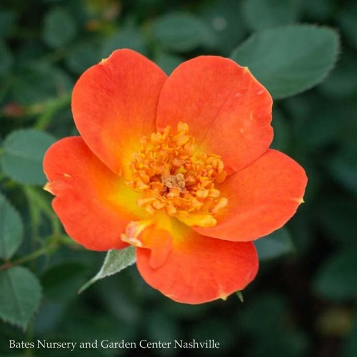 #3 Rosa Oso Easy Paprika/Rose Shrub NO WARRANTY
