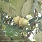 #30 Quercus robur x bicolor Regal Prince/Oak Columnar