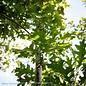 #7 Quercus shumardii/Shumard Red Oak