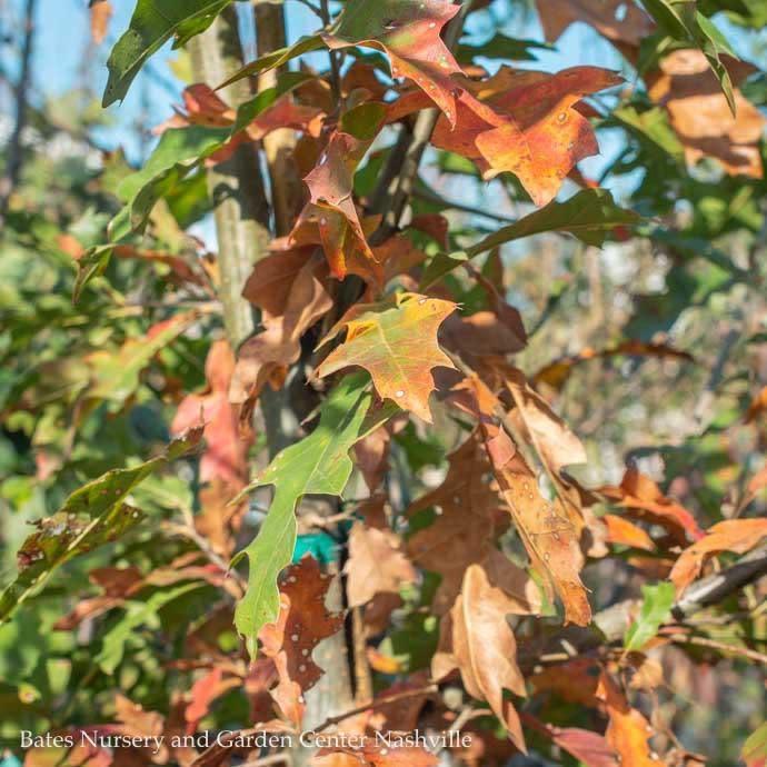 #7 Quercus nuttallii/Nuttall Oak